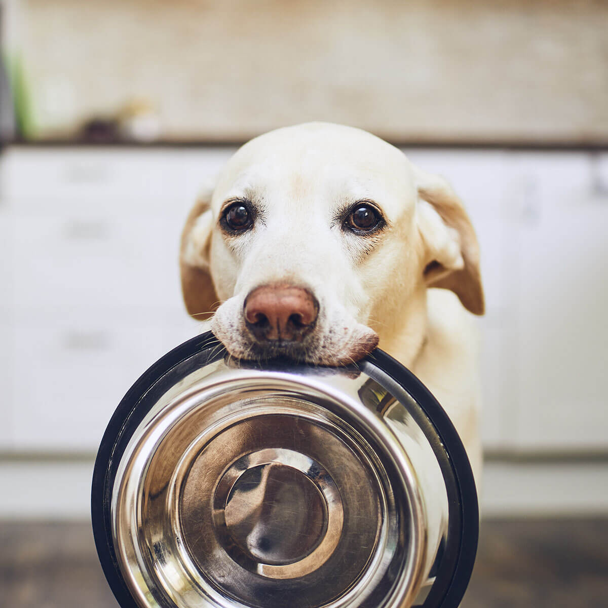 labrador retriever holding food dish ready for d'tails pet service